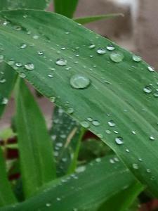 raindropsonleaf
